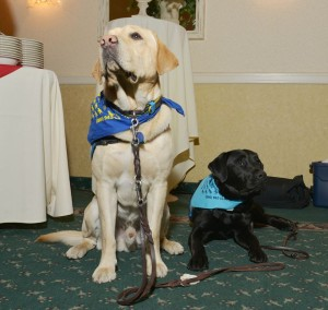 Service Dogs labs